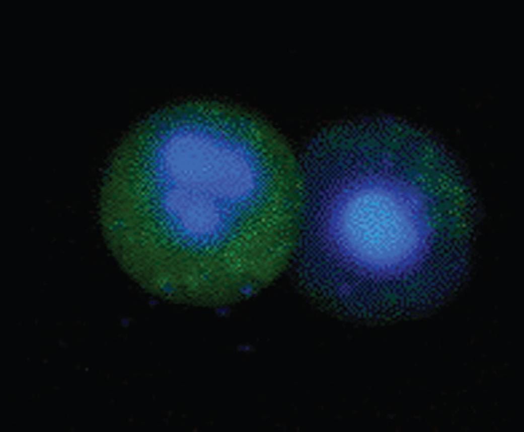 FAM FLICA™ Caspase-1 Kit gallery image 1
