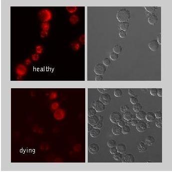 Mito Membrane Potential MitoPT TMRE Kit thumbnail image 2
