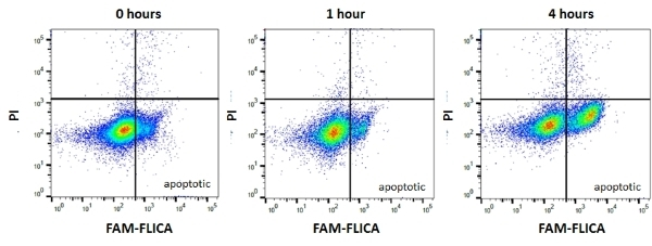 FAM FLICA™ Poly Caspase Kit thumbnail image 2