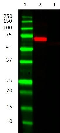 Anti Bacterial Alkaline Phosphatase Antibody, clone AbD25296_hIgG2 thumbnail image 2