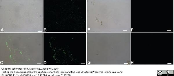 Anti Peptidoglycan Antibody, clone 3F6B3 (10H6) thumbnail image 1