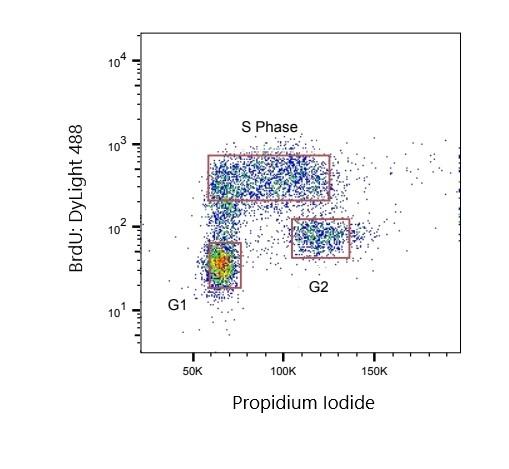 Anti BrdU Antibody, clone AbD33758kg thumbnail image 1