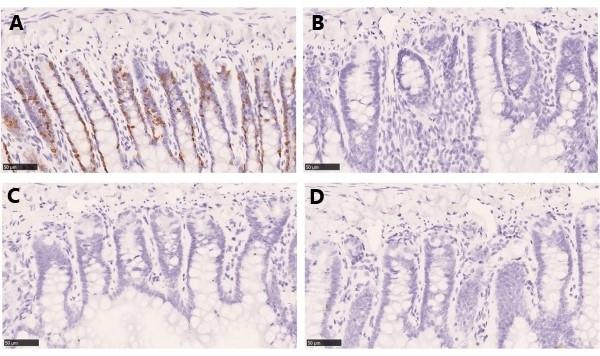 Anti BrdU Antibody, clone AbD33758kg thumbnail image 4
