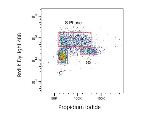 Anti BrdU Antibody, clone AbD33761kg gallery image 1