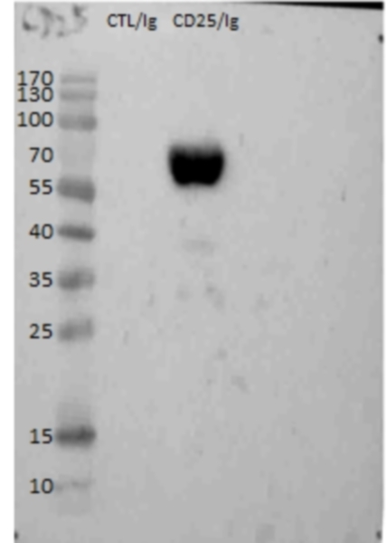 Anti Chicken CD25 Antibody, clone AV142 thumbnail image 2