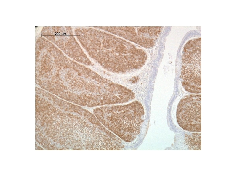 Anti Chicken CD268 / BAFF-R Antibody, clone 2C4 thumbnail image 1