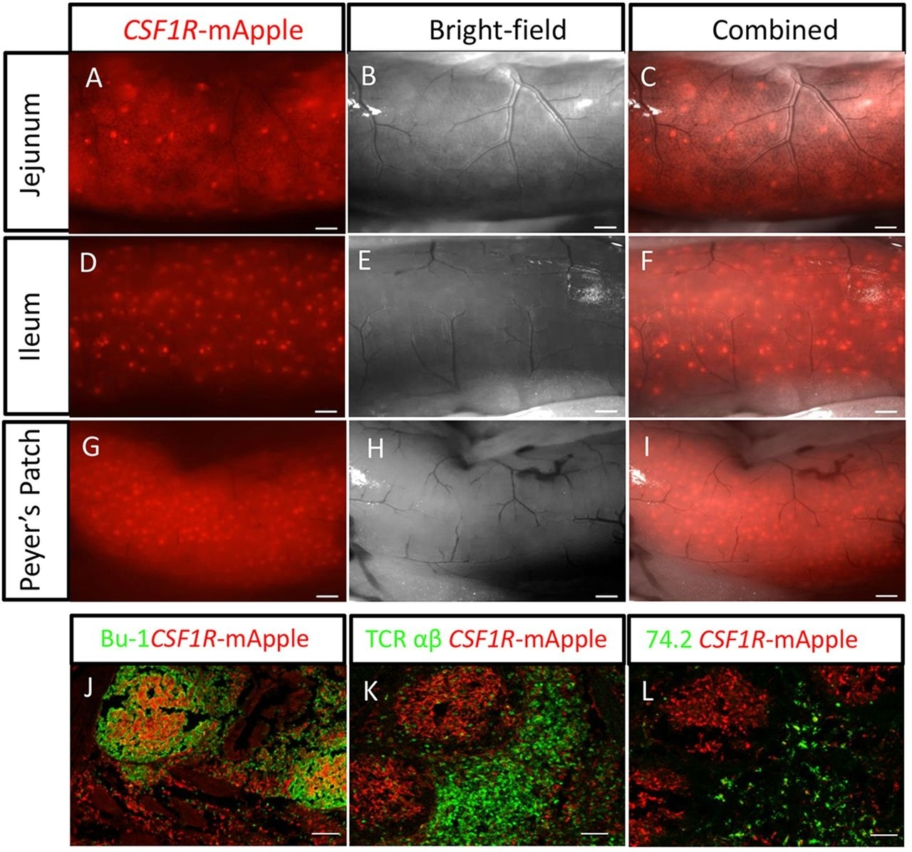 Anti Chicken TCR Alpha/Beta (Vb1) Antibody, clone TCR-2 gallery image 1