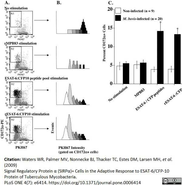 Anti Bovine CD172a Antibody, clone CC149 thumbnail image 6