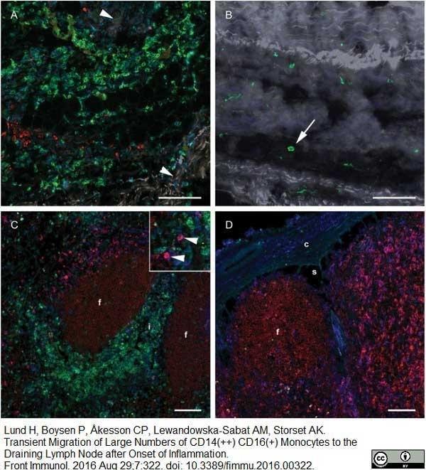 Anti Bovine CD205 Antibody, clone CC98 thumbnail image 3