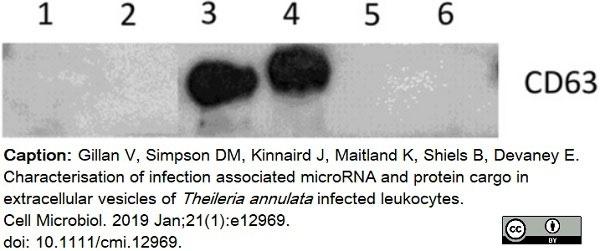 Anti Bovine CD63 Antibody, clone CC25 thumbnail image 2