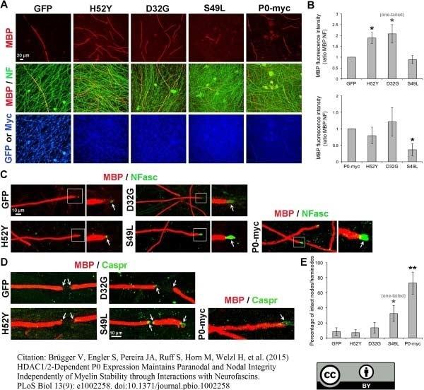 Anti MBP (aa82-87) Antibody, clone 12 thumbnail image 16