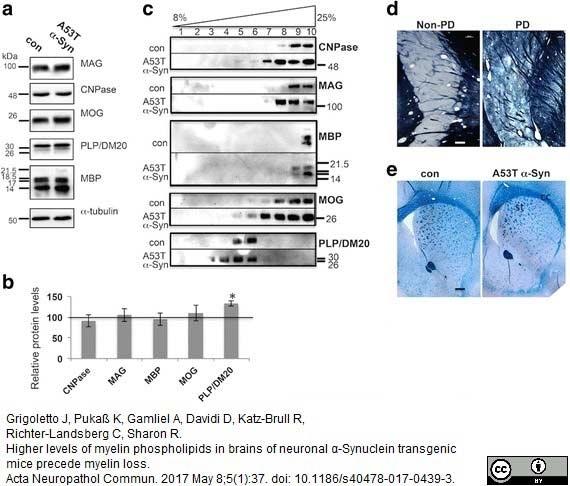 Anti MBP (aa82-87) Antibody, clone 12 thumbnail image 24