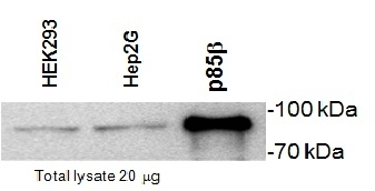 Anti PI-3 Kinase p85 Subunit Beta Antibody, clone T15 gallery image 1