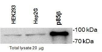 Anti PI-3 Kinase p85 Subunit Beta Antibody, clone T15 gallery image 1