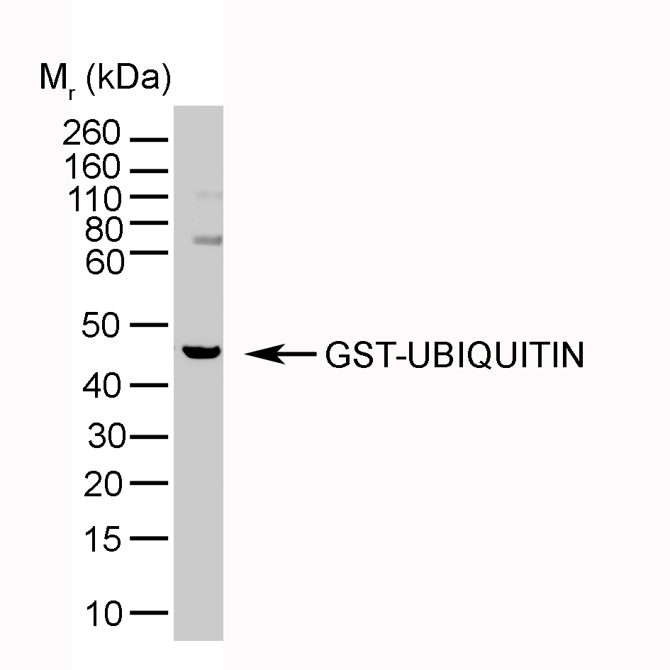 Anti Ubiquitin Antibody, clone 1B4-UB thumbnail image 3