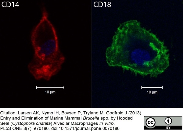 Anti Dog CD18 Antibody, clone CA1.4E9 thumbnail image 3