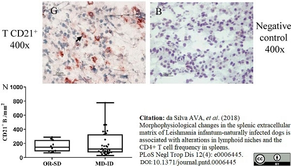 Anti Canine CD21 Antibody, clone CA2.1D6 thumbnail image 5