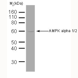 Anti AMPK Alpha 1/2 Antibody, clone 34.2 gallery image 1