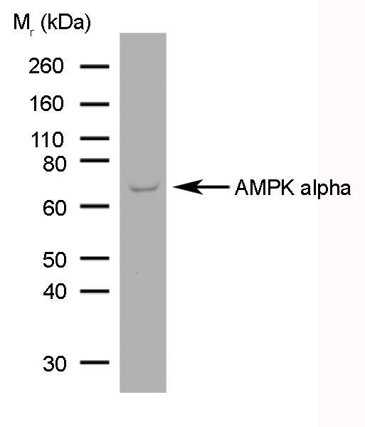 Anti AMPK Alpha 1/2 Antibody, clone 84.1 gallery image 1