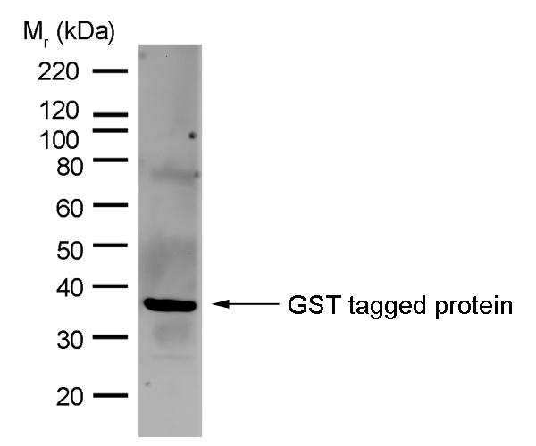 Anti GST Antibody, clone AbD02021 gallery image 1