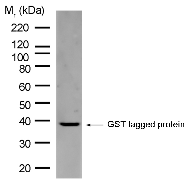 Anti GST Antibody, clone AbD02031 gallery image 1