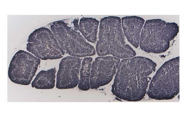 Anti Guinea Fowl Bu-1a/b Antibody, clone BoA1 thumbnail image 1
