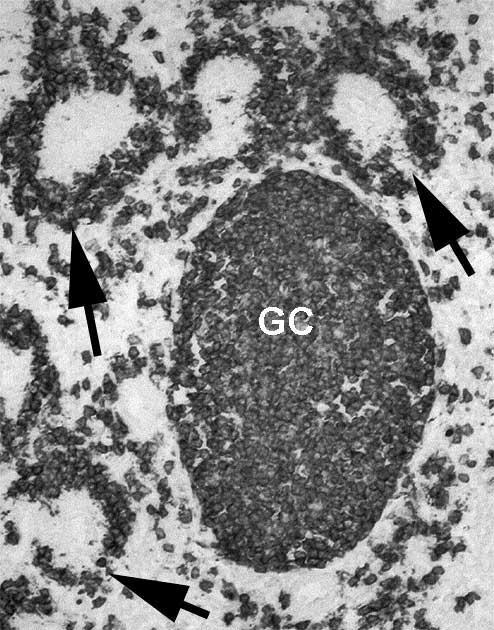 Anti Guinea Fowl Bu-1a/b Antibody, clone BoA1 thumbnail image 2