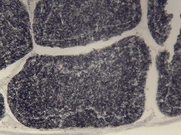 Anti Guinea Fowl Bu-1a/b Antibody, clone BoA1 thumbnail image 3