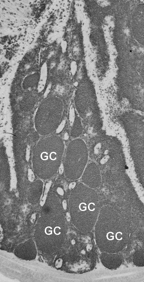 Anti Guinea Fowl Bu-1a/b Antibody, clone BoA1 thumbnail image 4