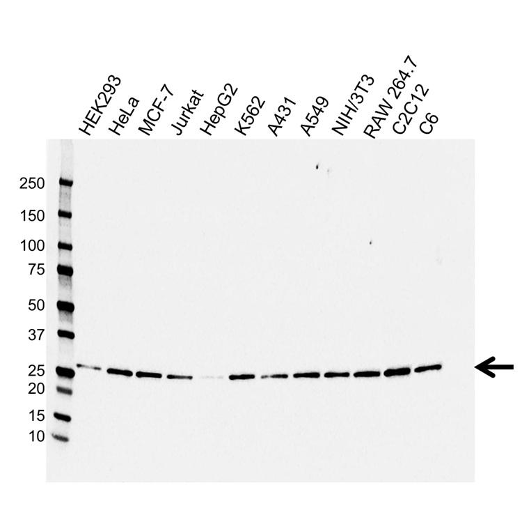 Anti 14-3-3 Beta/Alpha Antibody (PrecisionAb Monoclonal Antibody) gallery image 1