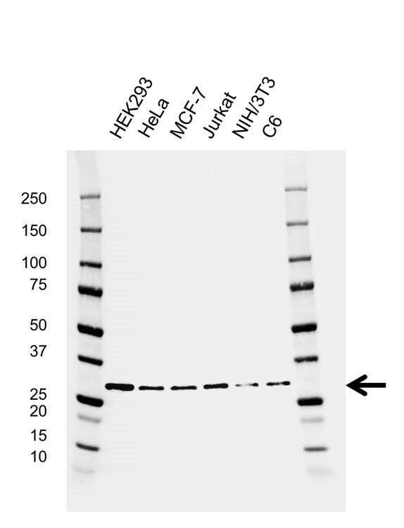 Anti 14-3-3 Epsilon Antibody, clone AB01/1G9 (PrecisionAb Monoclonal Antibody) gallery image 1