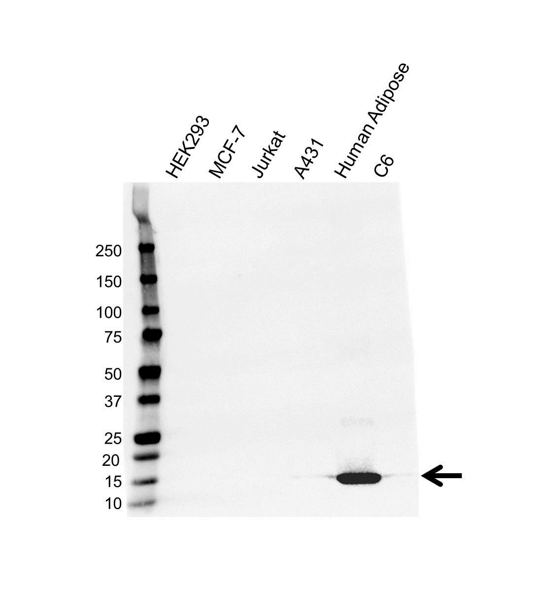 Anti A-FABP Antibody (PrecisionAb™ Monoclonal Antibody) gallery image 1