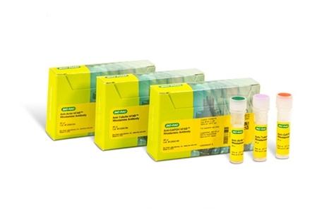 ANTI-ACTIN hFAB™ Rhodamine Antibody Antibody, clone AbD22606 thumbnail image 1