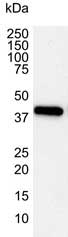 Anti Human Actin Beta Antibody, clone 4C2 gallery image 1