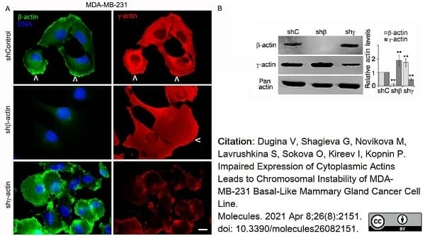 Anti Human Actin Beta Antibody, clone 4C2 thumbnail image 10