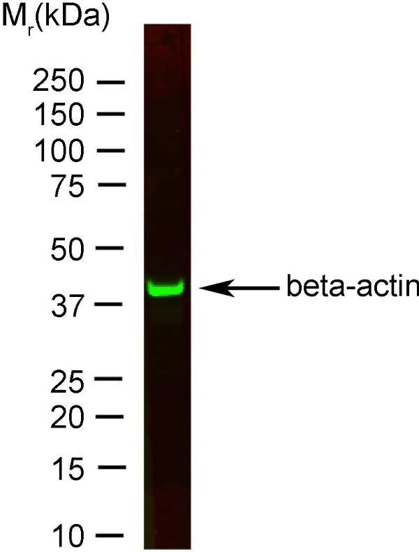Anti Human Actin Beta Antibody, clone AbD12141 thumbnail image 2