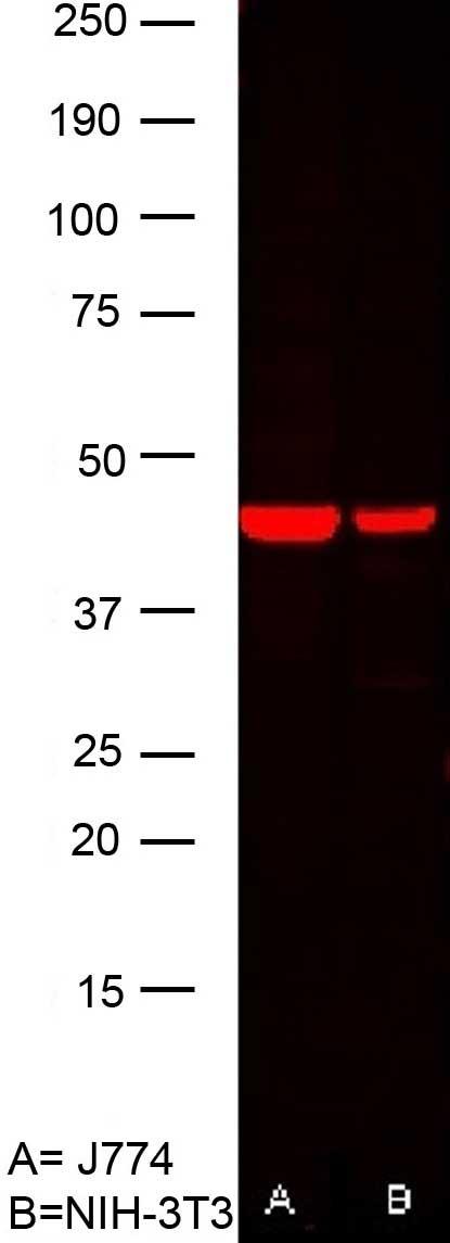 Anti Human Actin Beta Antibody, clone AbD12141 thumbnail image 3