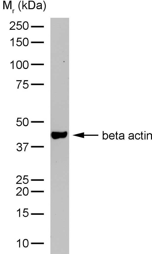 Anti Human Actin Beta Antibody, clone AbD12141 thumbnail image 4