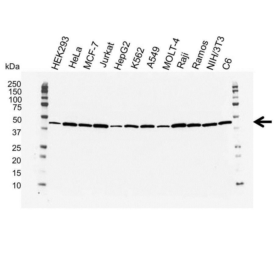 Anti Actin Beta Antibody (PrecisionAb Monoclonal Antibody) gallery image 1
