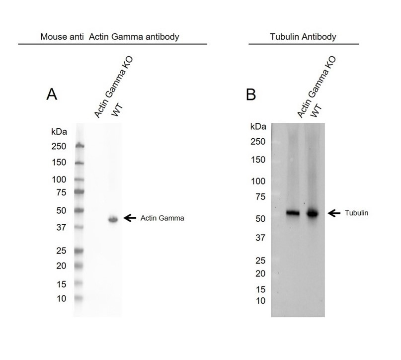 Anti Actin Gamma Antibody, clone 2A3 (PrecisionAb Monoclonal Antibody) thumbnail image 3