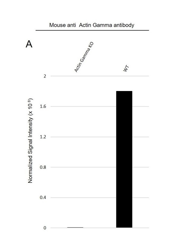 Anti Actin Gamma Antibody, clone 2A3 (PrecisionAb Monoclonal Antibody) thumbnail image 4