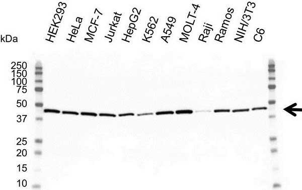 Anti Actin Gamma Antibody (PrecisionAb™ Monoclonal Antibody) thumbnail image 1