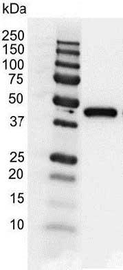 Anti Actin Gamma Antibody (PrecisionAb™ Monoclonal Antibody) thumbnail image 2
