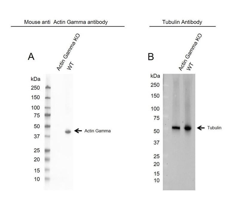 Anti Actin Gamma Antibody (PrecisionAb Monoclonal Antibody) thumbnail image 3