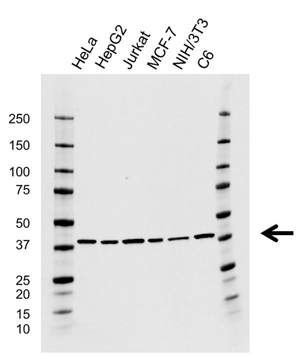 Anti ACTR2 Antibody, clone CD01/1A6 (PrecisionAb Monoclonal Antibody) gallery image 1