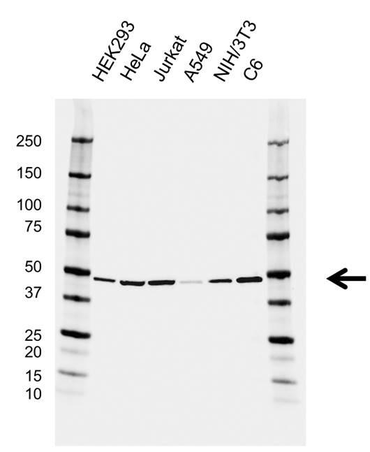 Anti ACTR3 Antibody, clone CD04/3B4 (PrecisionAb Monoclonal Antibody) gallery image 1