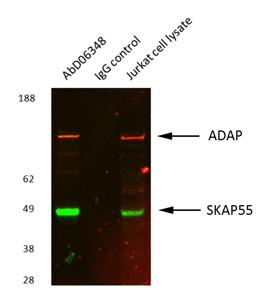 Anti Human ADAP Antibody, clone AbD06348 gallery image 1