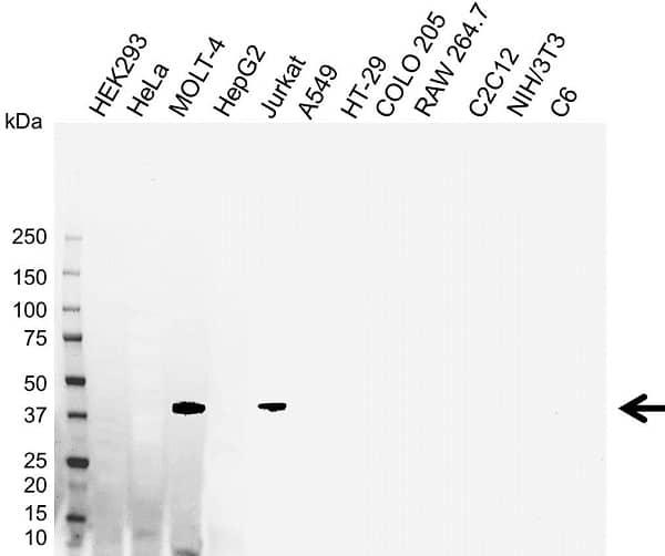Anti Adenosine A2A Receptor Antibody (PrecisionAb Monoclonal Antibody) gallery image 1