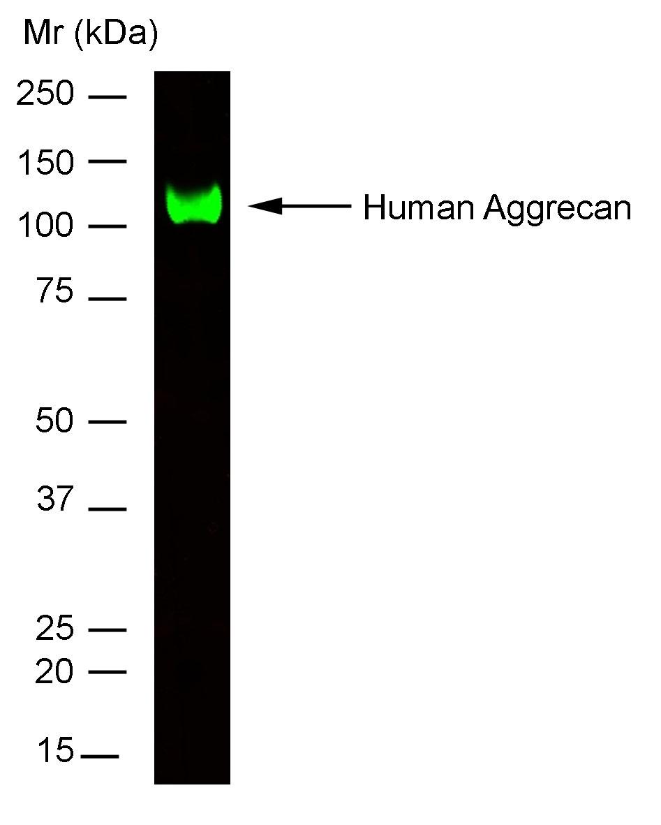 Anti Human Aggrecan Antibody, clone 7D4 thumbnail image 1