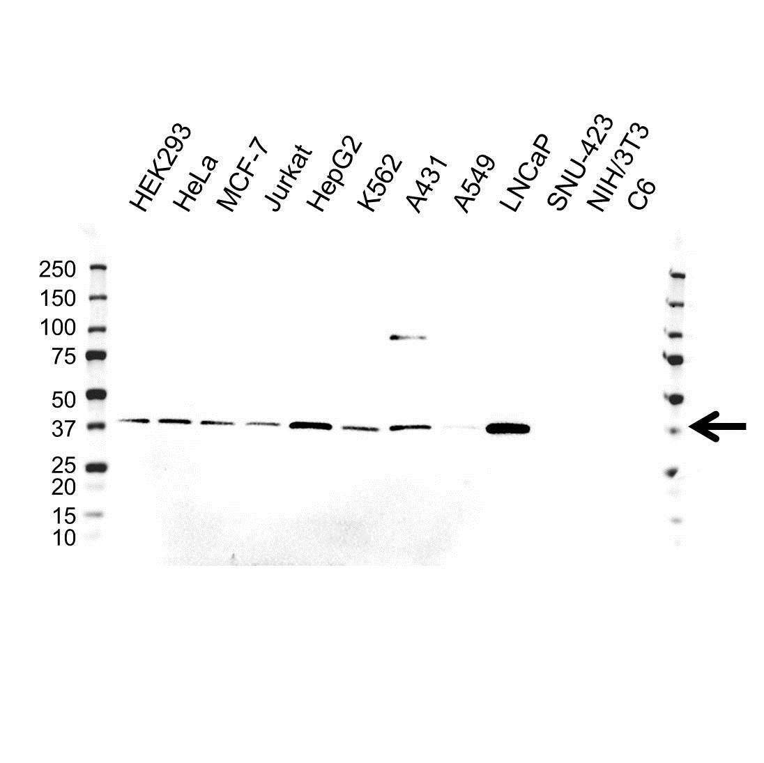 Anti AKR1A1 Antibody, clone OTI9F1 (PrecisionAb™ Monoclonal Antibody) gallery image 1
